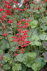 Firefly Coral Bells (Heuchera 'Firefly') at Wasco Nursery