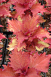 Henna Coleus (Solenostemon scutellarioides 'Henna') at Wasco Nursery
