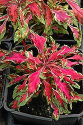 Pink Chaos Coleus (Solenostemon scutellarioides 'Pink Chaos') at Wasco Nursery