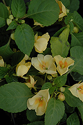 Fusion Glow Yellow Impatiens (Impatiens 'Fusion Glow Yellow') at Wasco Nursery