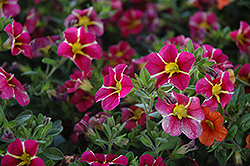 Superbells® Cherry Star Calibrachoa (Calibrachoa 'Superbells Cherry Star') at Wasco Nursery