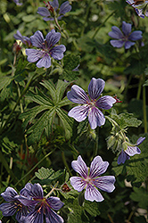 Brookside Cranesbill (Geranium 'Brookside') at Wasco Nursery