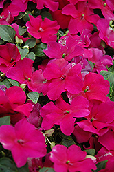 Super Elfin® Violet Impatiens (Impatiens walleriana 'Super Elfin Violet') at Wasco Nursery