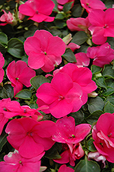 Super Elfin® Lipstick Impatiens (Impatiens walleriana 'Super Elfin Lipstick') at Wasco Nursery