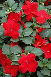 Super Elfin® Red Impatiens (Impatiens walleriana 'Super Elfin Red') at Wasco Nursery