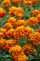 Little Hero Flame Marigold (Tagetes patula 'Little Hero Flame') at Wasco Nursery