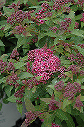 Double Play® Artisan® Spirea (Spiraea japonica 'Galen') at Wasco Nursery
