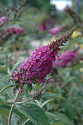 Miss Ruby Butterfly Bush (Buddleia davidii 'Miss Ruby') at Wasco Nursery