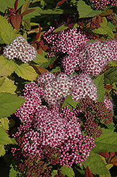 Double Play Big Bang® Spirea (Spiraea 'Tracy') at Wasco Nursery