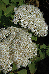 Snow Storm™ Spirea (Spiraea media 'Darsnorm') at Wasco Nursery