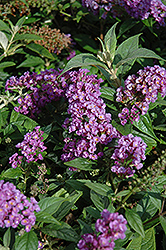 Lo And Behold® Purple Haze Dwarf Butterfly Bush (Buddleia 'Lo And Behold Purple Haze') at Wasco Nursery