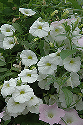 Superbells® White Calibrachoa (Calibrachoa 'Superbells White') at Wasco Nursery