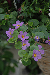 Snowstorm® Blue Bacopa (Sutera cordata 'Snowstorm Blue') at Wasco Nursery