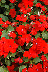 Super Elfin® XP Scarlet Impatiens (Impatiens walleriana 'Super Elfin XP Scarlet') at Wasco Nursery