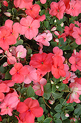 Super Elfin® XP Melon Impatiens (Impatiens walleriana 'Super Elfin XP Melon') at Wasco Nursery