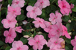 Super Elfin® XP Pink Impatiens (Impatiens walleriana 'Super Elfin XP Pink') at Wasco Nursery