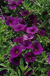 Cabaret® Deep Blue Calibrachoa (Calibrachoa 'Cabaret Deep Blue') at Wasco Nursery