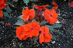 Infinity® Orange New Guinea Impatiens (Impatiens hawkeri 'Infinity Orange') at Wasco Nursery