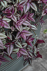 Wandering Jew (Tradescantia zebrina) at Wasco Nursery