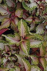 Chaotic Rose Coleus (Solenostemon scutellarioides 'Chaotic Rose') at Wasco Nursery