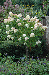 Limelight Hydrangea (tree form) (Hydrangea paniculata 'Limelight (tree form)') at Wasco Nursery