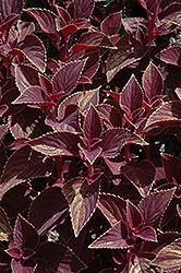 Vino Coleus (Solenostemon scutellarioides 'Vino') at Wasco Nursery
