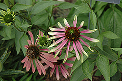 Green Envy Coneflower (Echinacea purpurea 'Green Envy') at Wasco Nursery