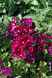 Lanai® Royal Purple with Eye Verbena (Verbena 'Lanai Royal Purple with Eye') at Wasco Nursery