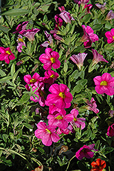 Superbells® Pink Calibrachoa (Calibrachoa 'Superbells Pink') at Wasco Nursery