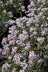 Blushing Princess Sweet Alyssum (Lobularia 'Blushing Princess') at Wasco Nursery