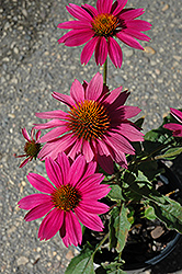 PowWow Wild Berry Coneflower (Echinacea purpurea 'PowWow Wild Berry') at Wasco Nursery