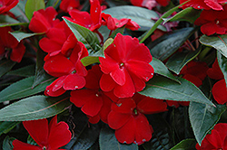 Celebration Deep Red New Guinea Impatiens (Impatiens hawkeri 'Celebration Deep Red') at Wasco Nursery