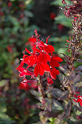 Queen Victoria Lobelia (Lobelia 'Queen Victoria') at Wasco Nursery