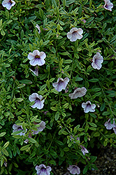 Superbells® Trailing Lilac Mist Calibrachoa (Calibrachoa 'Superbells Trailing Lilac Mist') at Wasco Nursery