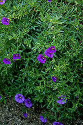 Superbells® Trailing Blue Calibrachoa (Calibrachoa 'Superbells Trailing Blue') at Wasco Nursery
