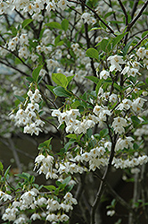 Japanese Snowbell (Styrax japonicus) at Wasco Nursery