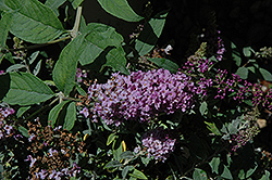 Lo And Behold® Lilac Chip Dwarf Butterfly Bush (Buddleia 'Lo And Behold Lilac Chip') at Wasco Nursery