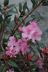 Aglo Rhododendron (Rhododendron 'Aglo') at Wasco Nursery