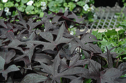Blackie Sweet Potato Vine (Ipomoea batatas 'Blackie') at Wasco Nursery