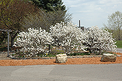 Royal Star Magnolia (Magnolia stellata 'Royal Star') at Wasco Nursery