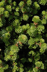 Sherwood Compact Norway Spruce (Picea abies 'Sherwood Compact') at Wasco Nursery