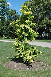 Gold Rush Dawn Redwood (Metasequoia glyptostroboides 'Gold Rush') at Wasco Nursery