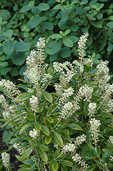 Hummingbird Summersweet (Clethra alnifolia 'Hummingbird') at Wasco Nursery