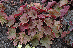 Carnival Watermelon Coral Bells (Heuchera 'Watermelon') at Wasco Nursery