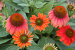 Sombrero® Hot Coral Coneflower (Echinacea 'Balsomcor') at Wasco Nursery