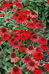 Sombrero® Salsa Red Coneflower (Echinacea 'Balsomsed') at Wasco Nursery