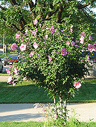 Aphrodite Rose of Sharon (Hibiscus syriacus 'Aphrodite') at Wasco Nursery