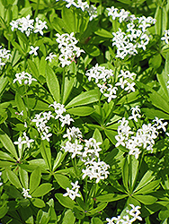 Sweet Woodruff (Galium odoratum) at Wasco Nursery