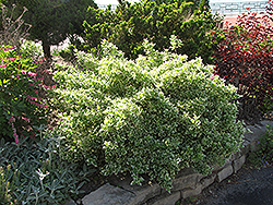 Emerald Gaiety Wintercreeper (Euonymus fortunei 'Emerald Gaiety') at Wasco Nursery