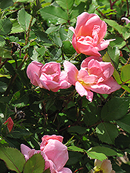 Rainbow Knock Out® Rose (Rosa 'Radcor') at Wasco Nursery